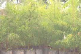 tanaman cemara