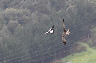 Hawk vs. Magpie