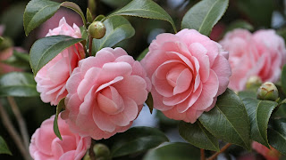 Camellia Flower HD Desktop Background