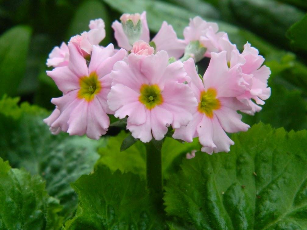 Primula malacoides Fairy primrose detail Allan Gardens Conservatory Spring Flower Show 2014