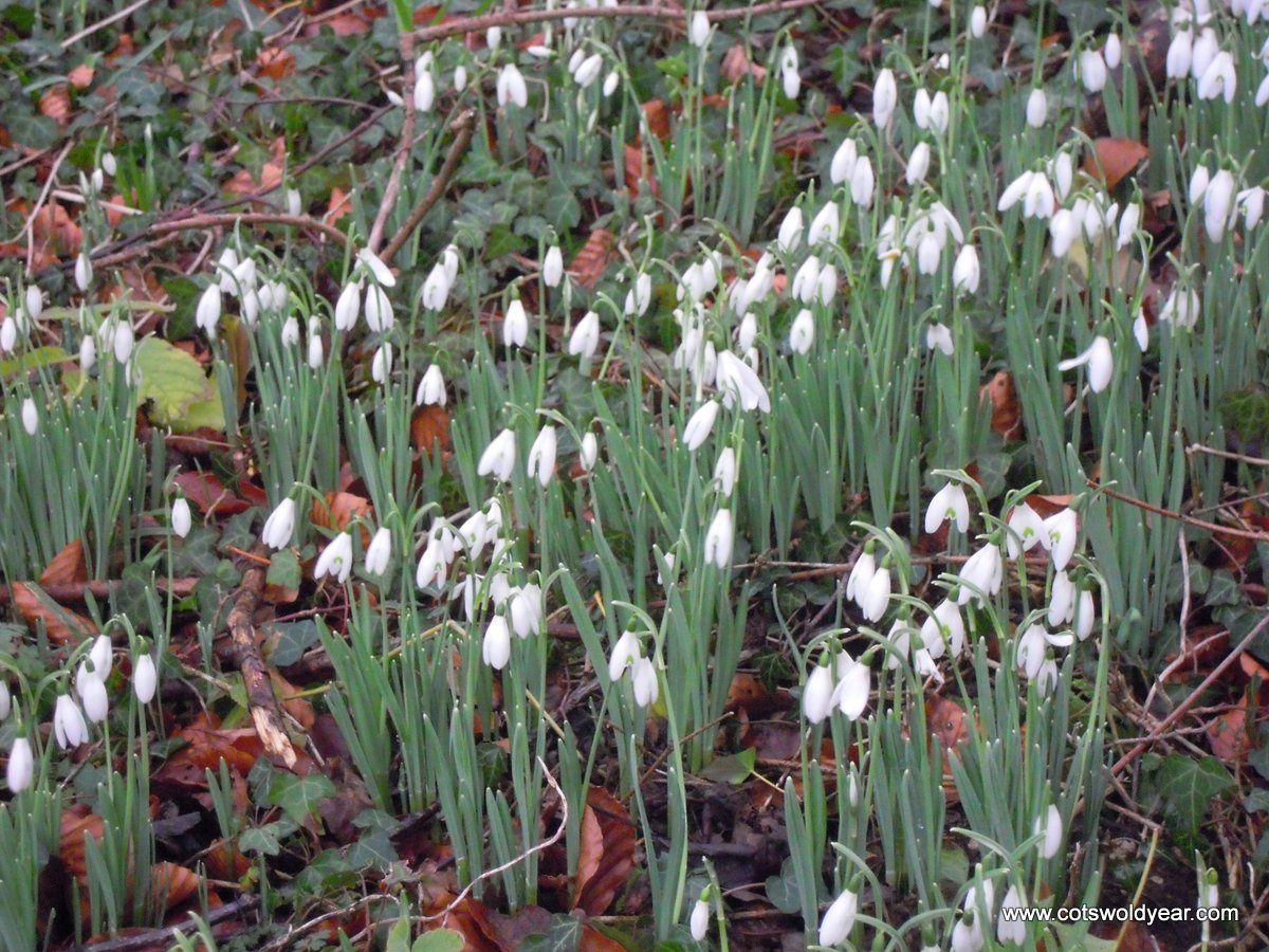A Cotswold Year Early Spring Flowers