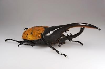 El escarabajo hércules (Dynastes hercules)