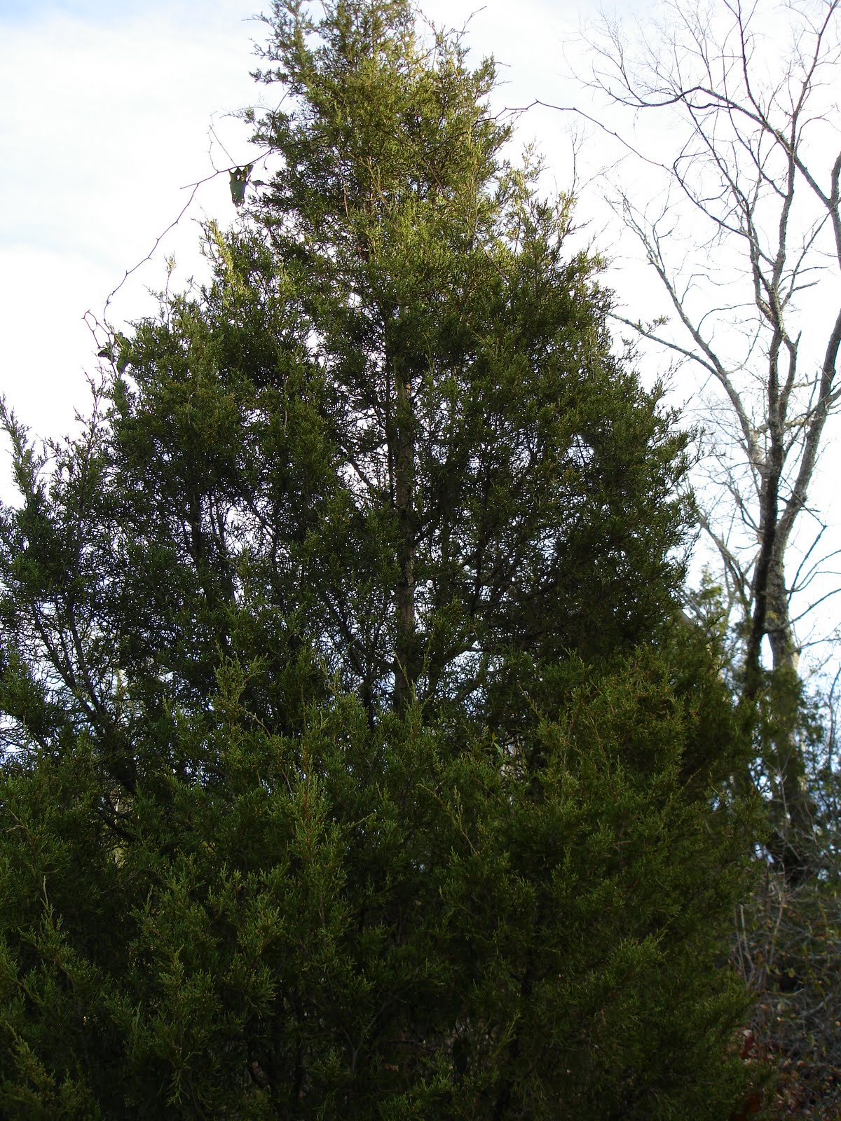 Eastern Red Cedar ~ Identifying eastern red cedar