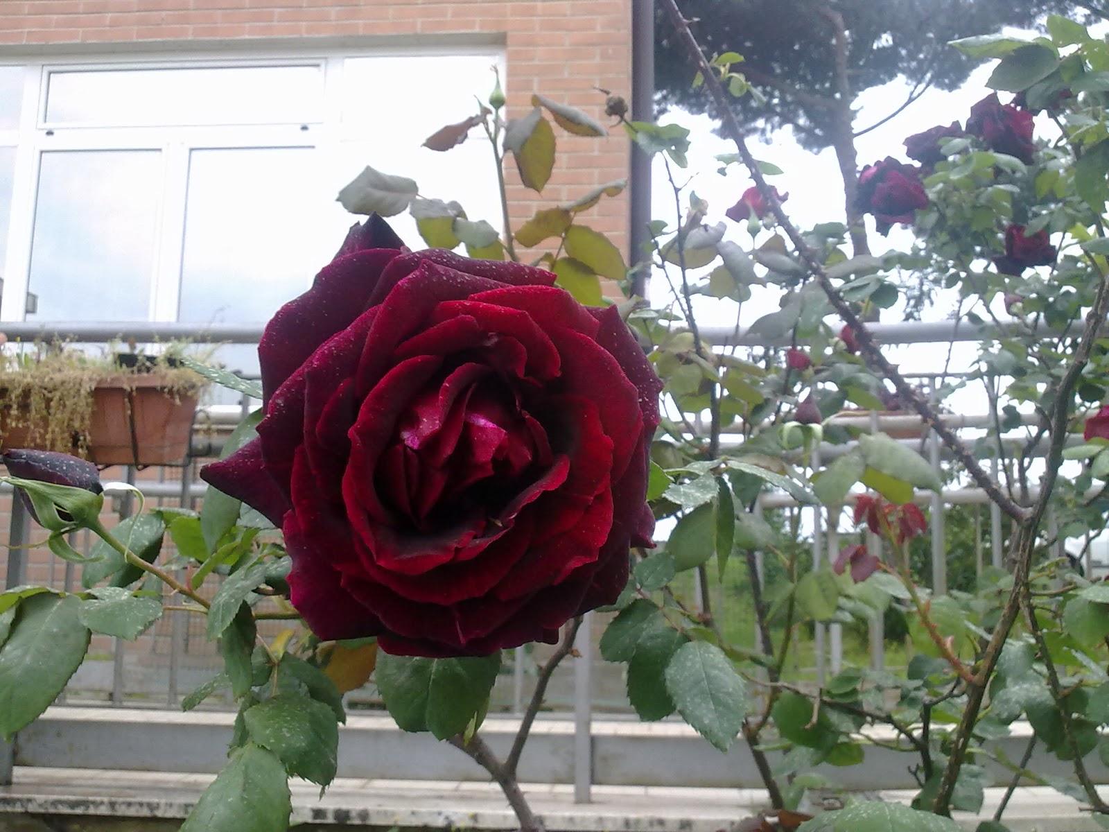 le mie rose di maggio....
