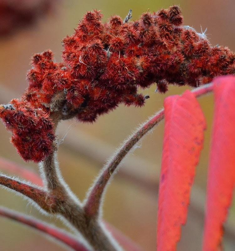 The branches of Staghorn Sumac are furry like a stag's antlers when in velvet.