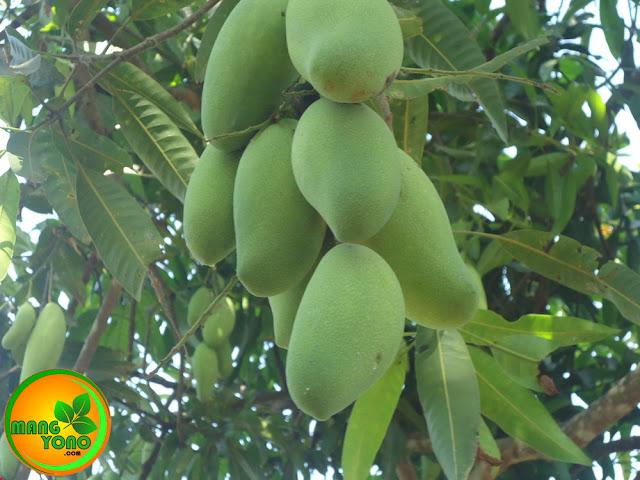 Ini buah mangga Golek yang masih dipohon