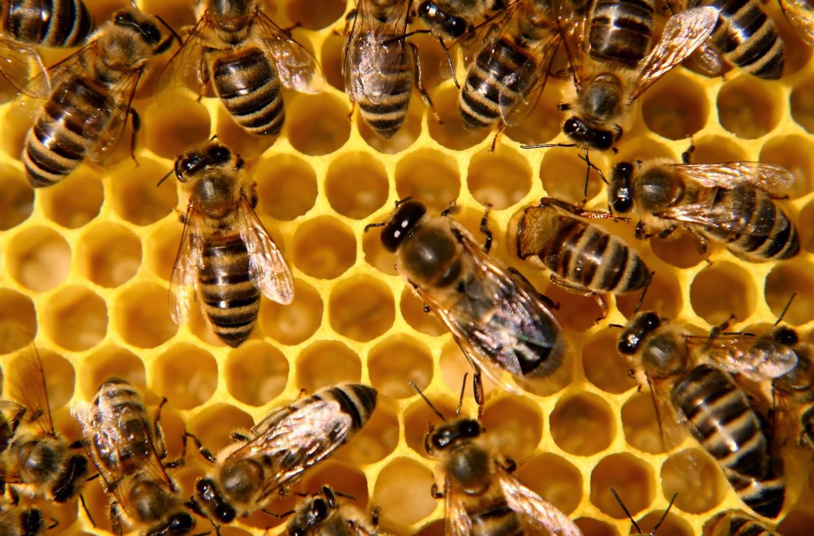 honey-bee-01