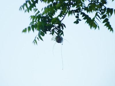 oriole's basket nest