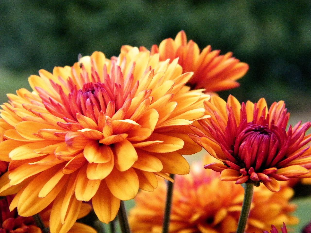Pin Chrysanthemum Is November Birth Flower On Pinterest