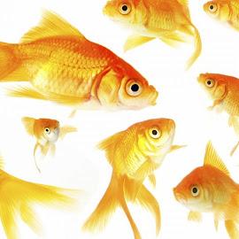 Ikan-Ikan Indah @ Digaleri.com