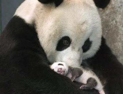 Osa Panda gigante con su cría bebé