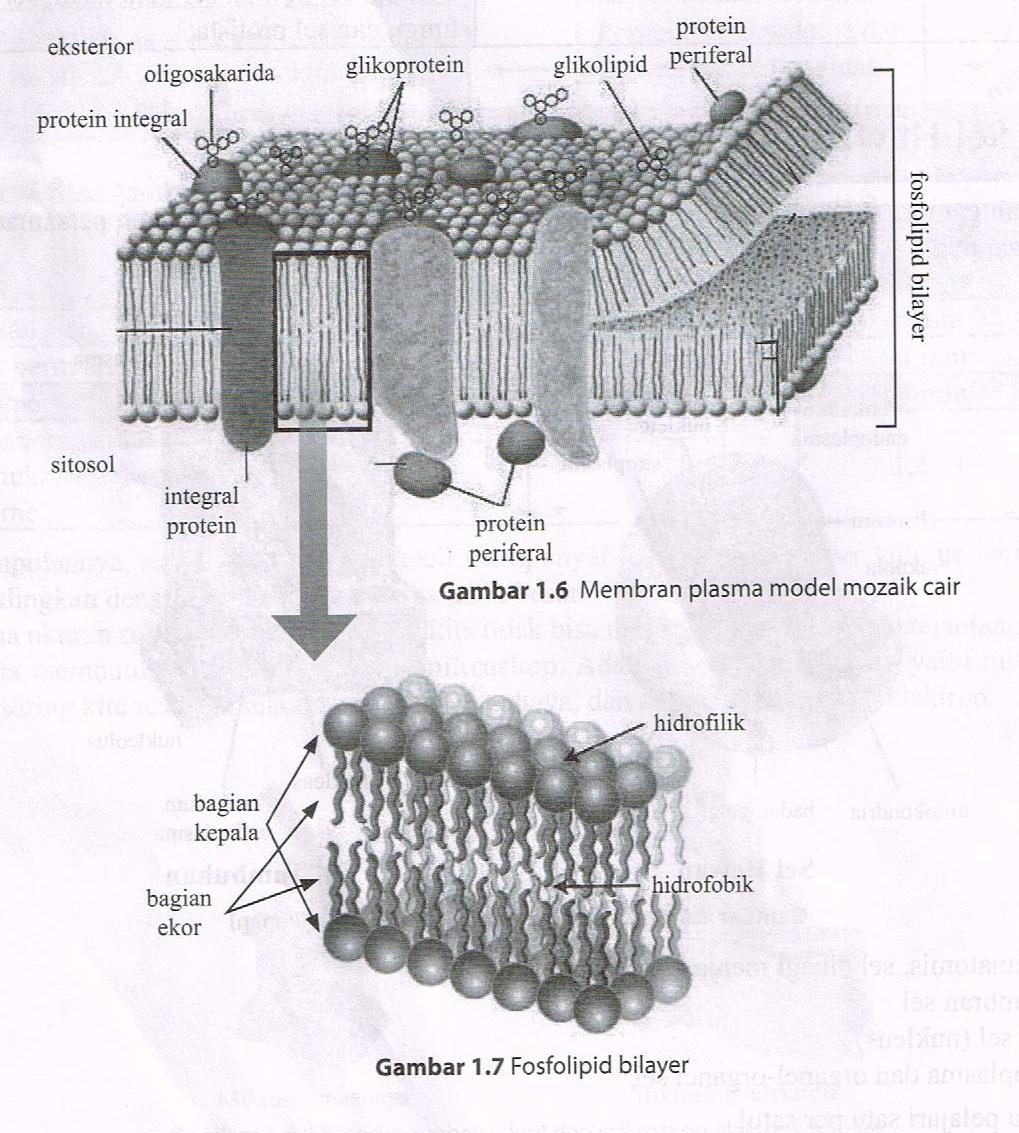 Ilmu dasar keperawatan konsep sel bagian ekor dari fosfolipid bilayer menghadap ke dalam membran plasma dan bersifat hidrofobik menolak airphobia takut ccuart Choice Image