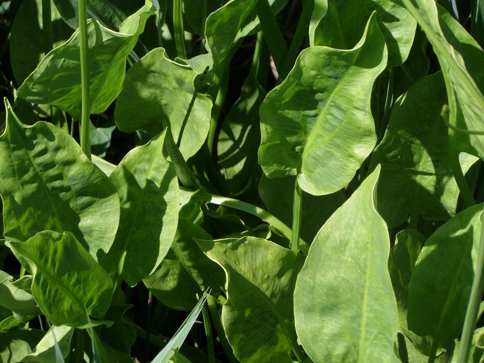 Espècies vegetals aquàtiques