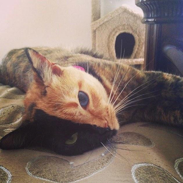 Chimera-cat-1