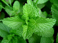 daun mint, mint, manfaat daun mint