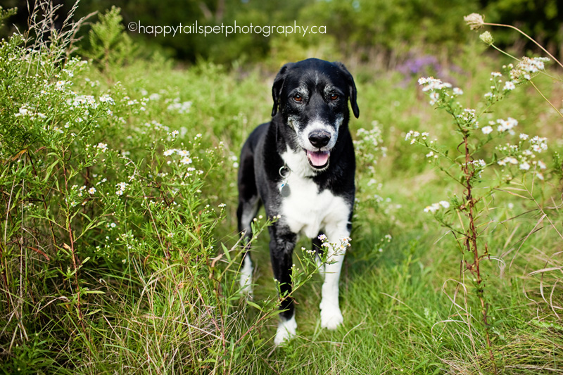 Ontario pet photography session with black and white border collie/lab mix senior dog in the long grass in Burlington park.