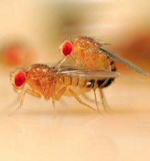 Due moscerini della frutta in intimità