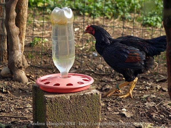 Costruire e gestire un pollaio le abilit del buon for Pollaio fai da te