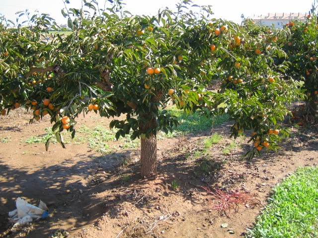 Arboles frutales for Viveros frutales wikipedia