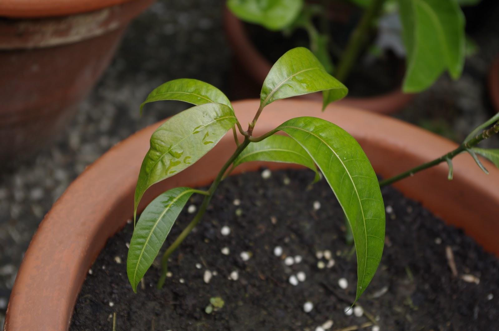 mr greens welt mango keitt vom kern zur pflanze. Black Bedroom Furniture Sets. Home Design Ideas