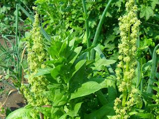 24 июня, соцветия шпината