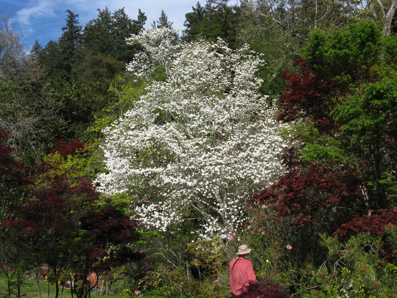 Trees of Santa Cruz County: Cornus florida - Flowering Dogwood