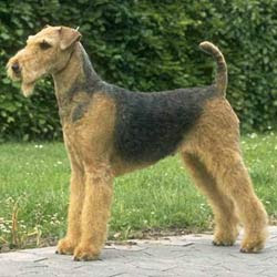 airedale terrier dog hound canine pooch canis bow-wow despicable fellow qen txakurra gos pas hond koer aso koira kutya hundur madra pets huisdieren animaux de compagnie Haustiere de companie husdjur Evcil Hayvan anifeiliaid anwes domace zvali augintiniai alagang hayop domaci zvirata kucni ljubimci animals domestics maskotak