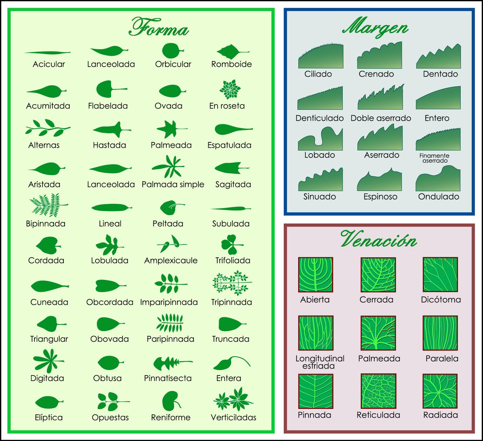 Madera de Arce: Clasificación de las hojas