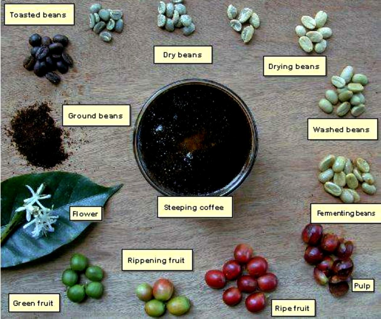 Civet coffee process - photo#1