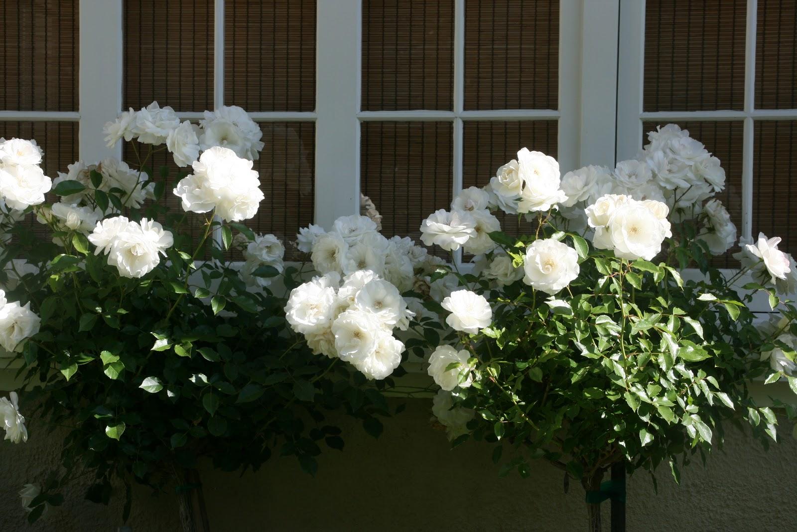 White Garden Rose Bush vignette design: everything's coming up roses