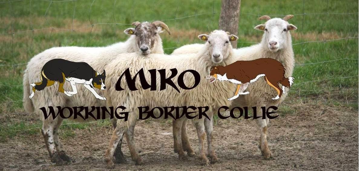MIKO working border collie