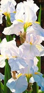 orquideas-blancas