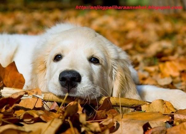 merawat anjing baru hadir, anjing baru beli, tips merawat anjing, cara werawat anjing baru