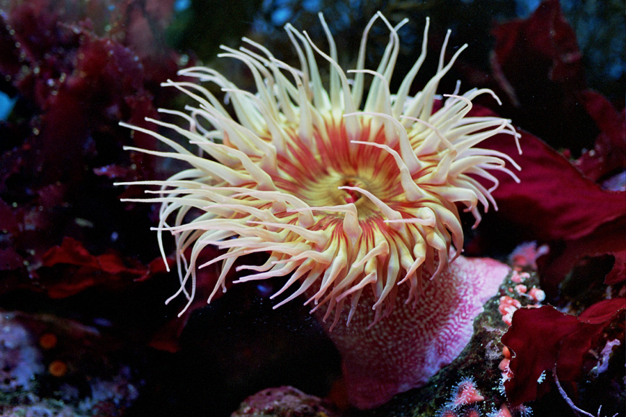 Pictures Of Sea Anemone - Free Sea Anemone pictures