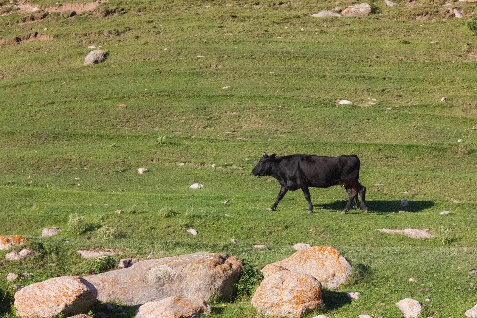 Кыргызстан, Джеты-Огуз, Иссык-Куль, бык
