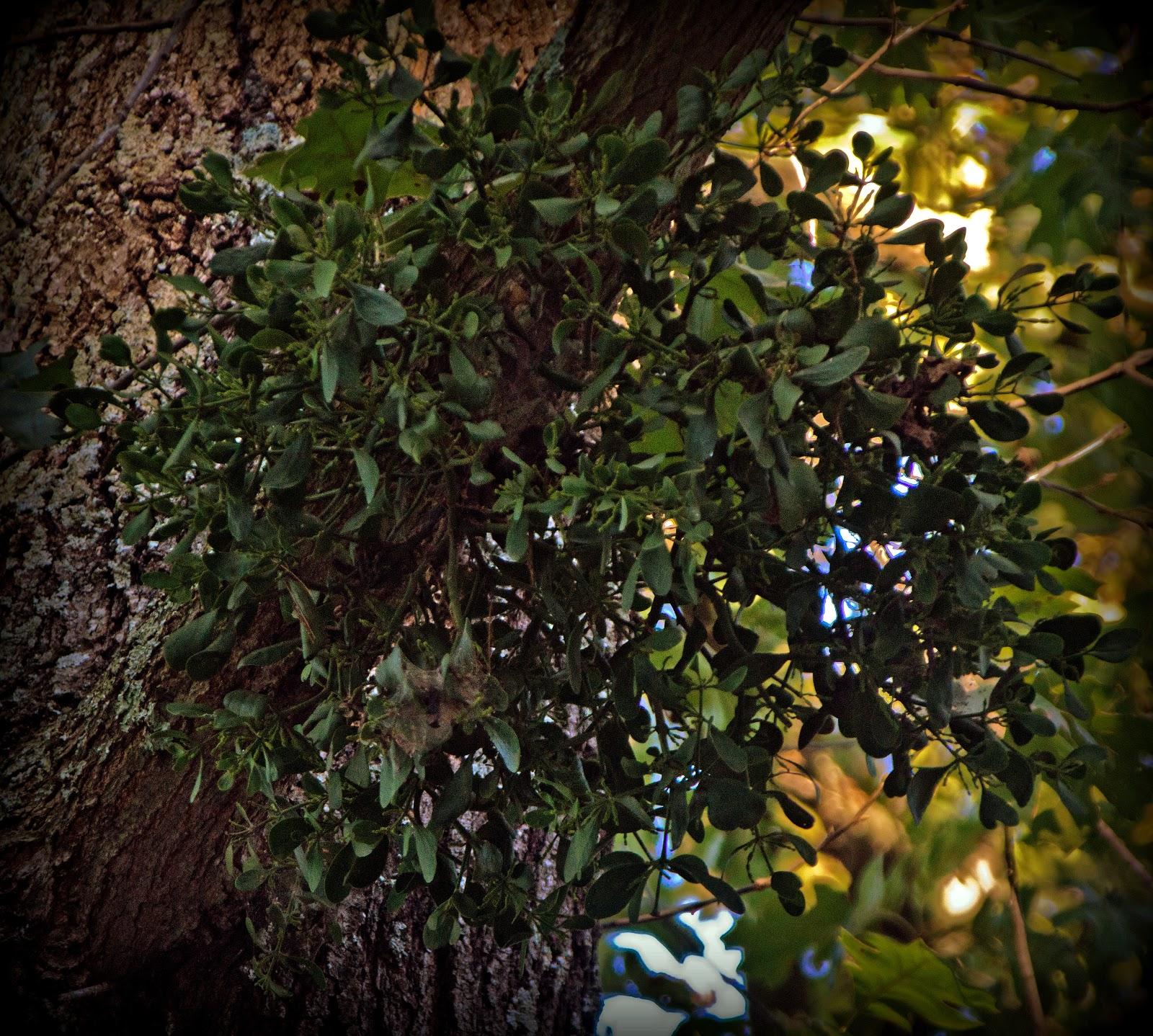 how to kill mistletoe in elm trees