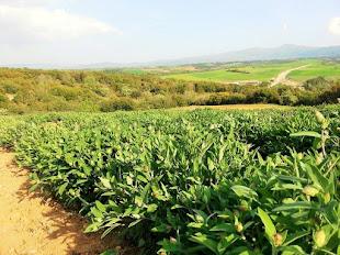 Organic Sage Plantation.