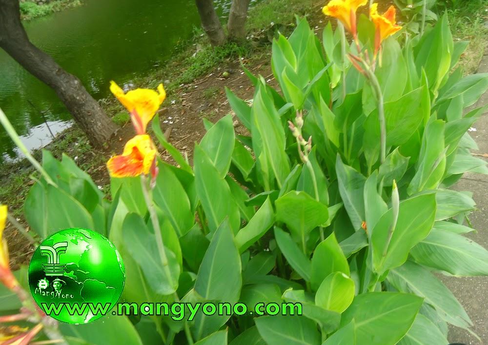 Bunga ganyong leuweung biasa disebut bunga tasbih