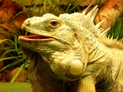 Bearded Dragon Care Sheet Caring For Your Pet