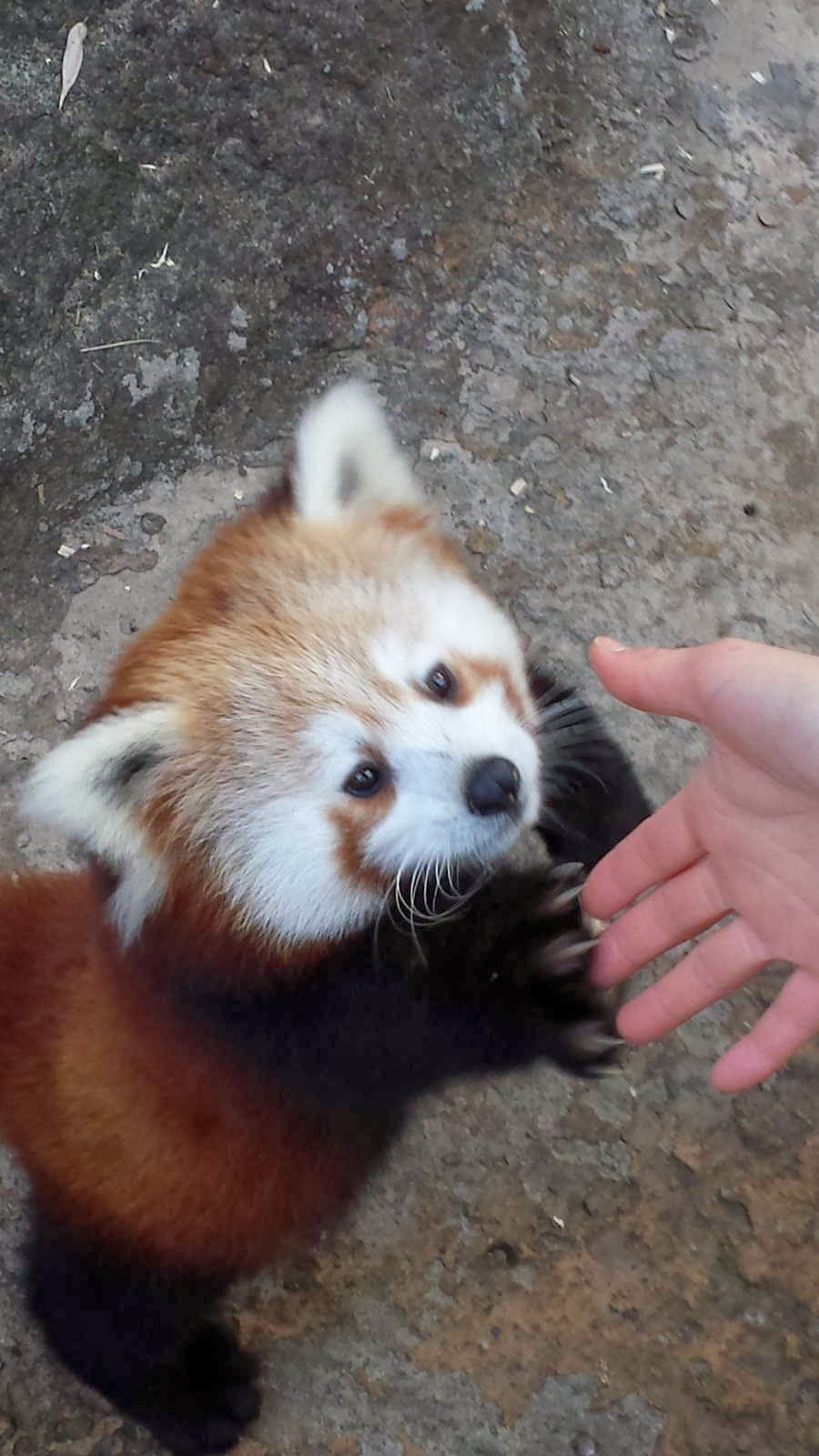 Funny animals of the week - 10 January 2014 (35 pics), red panda shakes hand
