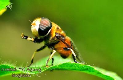 lalat-menari-macro-bloglazir.blogspot.com