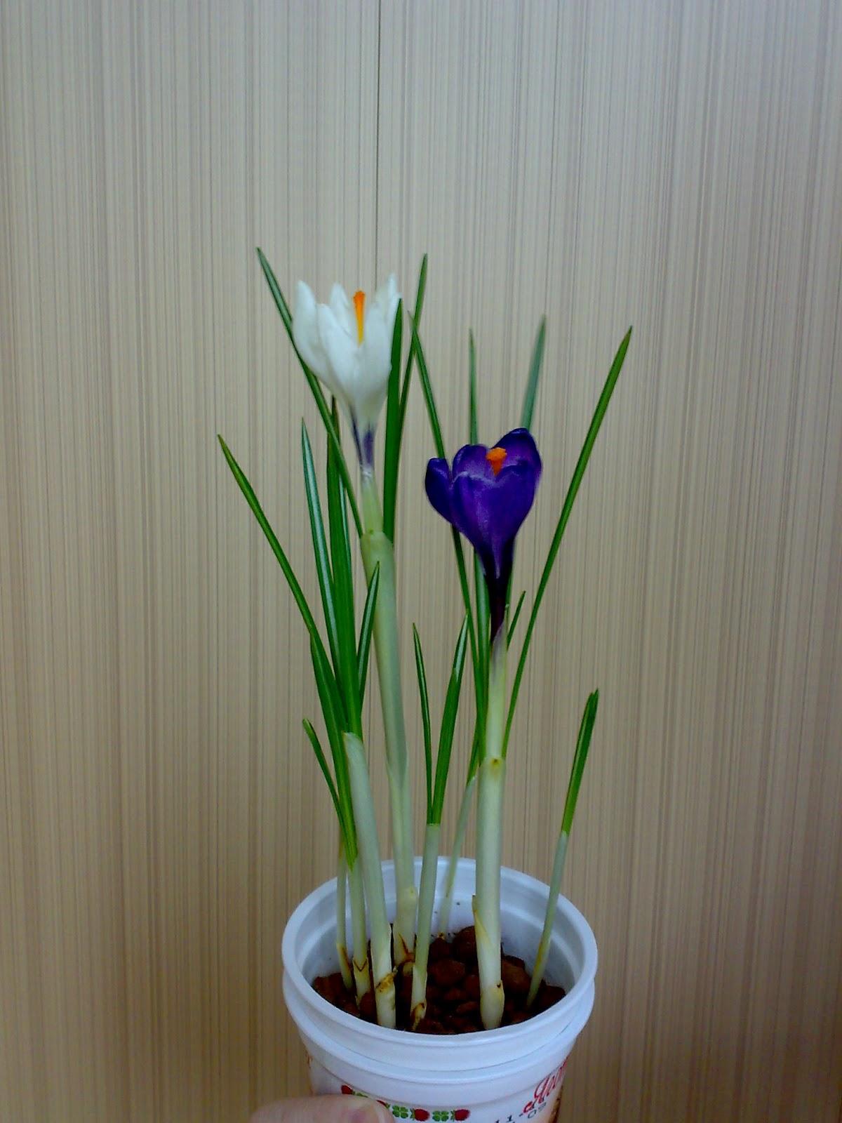 Как вырастить тюльпаны дома в горшке? 44