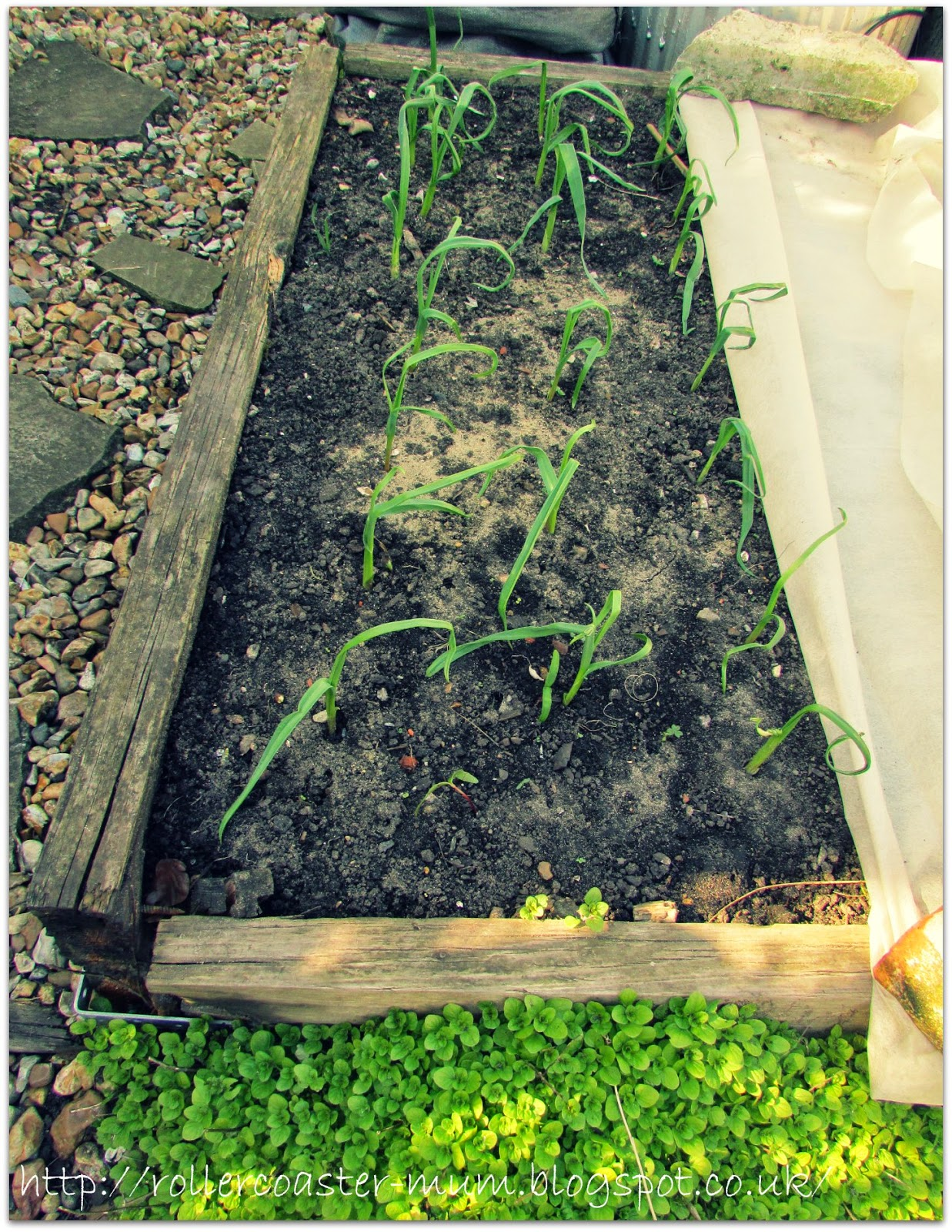 garlic growing in raised bed
