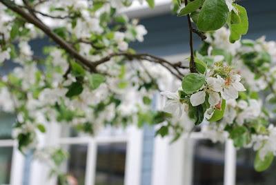 äppelträd - omenapuu