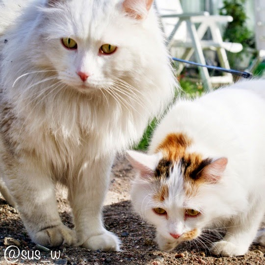 Turkish Van cats pictures