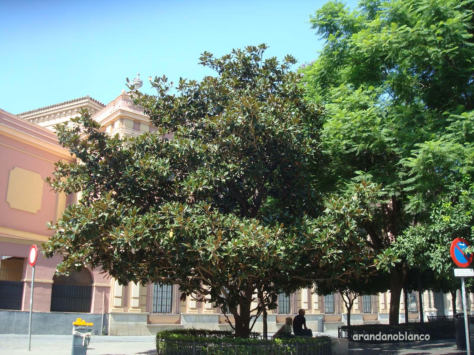 Elarbolmiamigo encinarosa magnolio magnolia grandiflora - Magnolia grandiflora cuidados ...