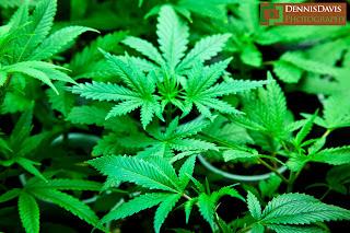 Medical Marijuana Growing Cannabis
