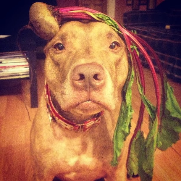 Scout the pit bull balances stuff on his head (30 pics), stuff on Scout's head
