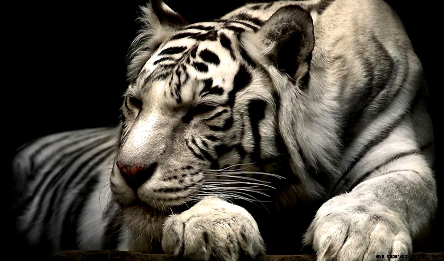 animal wallpaper best wallpapers white tiger sleeping | wallpapers box