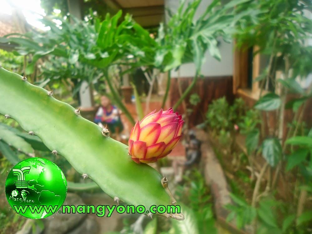 Bunga pohon naga ini laini ya, padahal dari pohon naga yang sama / masih satu pohon